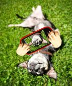 a chihuahua rolling in the grass taking a selfie