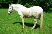 Purebred horse outdoors poster