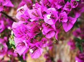 The bougainvillea