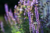 Flowering Sage with bokeh (Salvia nemarosa)