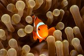 clownfish on its host anemone