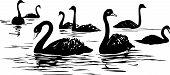 lake with black swans