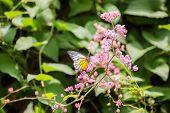 Redspot Sawtooth Butterfly On Pink Flowers