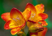Beautiful  freesia flowers with water drops and  green insect