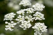 Flowers Of Cow Parsley.