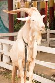 stock photo of horny  - White goat male and Beautiful horny on the farm - JPG