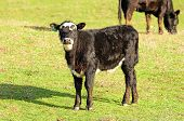 Black Angus Cross