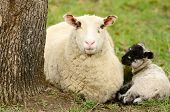 image of spring lambs  - Oregon spring lambs in a ranch pasture - JPG