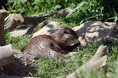 Feeding Otter