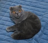 pic of scottish-fold  - Scottish Fold cat sitting on blue background - JPG