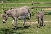 image of donkey  - Female donkey with her two month old young baby donkey foal walking across a field - JPG