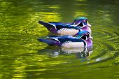 Wood Ducks On A Pond
