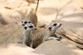Group Of Meerkat