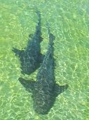 Sharks In The Beach. Salvador Da Bahia. Brazil