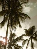 Palm Trees In Sepia Tone. Brazil