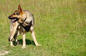 German Shepherd Dog On Meadow