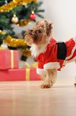 Toy Terrier In Santa Clothes Looking Up On Christmas Tree Background