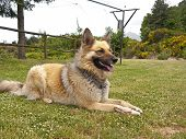 stock photo of belgian shepherd  - Belgian shepherd playing happily in the garden - JPG