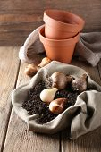 Flower bulbs, pots and soil on sackcloth napkin on wooden table on wooden wall background