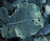 Eaten Broccoli Leaf