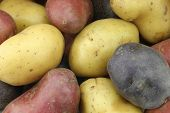 background of yellow, red and purple potatoes