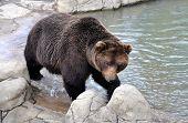 Brown Bear and Lake