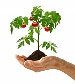 Tomato plant with soil in hand on white background