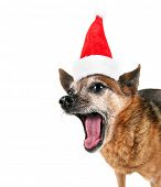 a cute chihuahua panting with his tongue out on a white background with a santa hat on for christmas