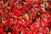 pic of climber plant  - red autumn leaves climbing plant - JPG