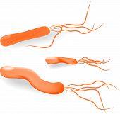 Bacteria Helicobacter pylori. Vector
