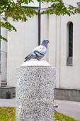 Single pigeon
