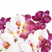 Phalaenopsis Vector Realistic Orchids Isolated On White