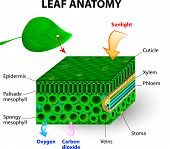 picture of oxygen  - leaf anatomy vector diagram - JPG