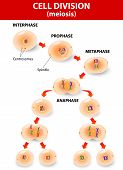 stock photo of cytoplasm  - meiosis - JPG