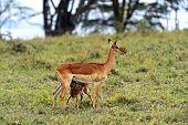 Impala Gazelles in natural habitat