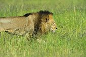 image of african lion  - Lion in the African savannah Masai Mara - JPG