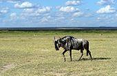 African Antelope Wildebeest