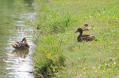two ducks in summer, Donetsk