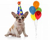 foto of party hats  - Sitting Puppy Dog With Birthday Party Hat and Balloons - JPG
