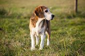 Pedigree proficient foxhound beagle on meadow