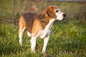 foto of foxhound  - Beautiful purebred smart beagle hunting dog in summer pasture - JPG