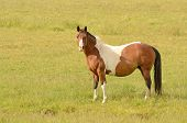 image of paint horse  - Very pregnant American Paint mare horse on a cattle ranch in the Umpqua Valley near Roseburg Oregon