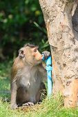 Monkey Drinking Clean Water From Tube For Lovely And Animals In Wild Theme