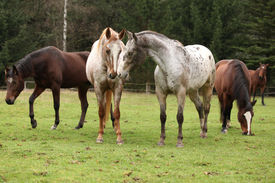 picture of appaloosa  - Two beautiful appaloosas together with other horses in background - JPG