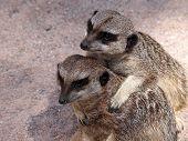 picture of meerkats  - Portrait of a couple Meerkats in the sand - JPG