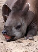 foto of tapir  - Portrait of a sleeping South american tapir - JPG