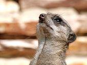 stock photo of meerkats  - Portrait of an alert Meerkat looking above - JPG