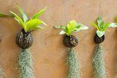 stock photo of tillandsia  - Spanish moss hanging strand and Bird of nest fern - JPG