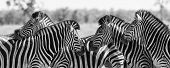 foto of herd  - Zebra herd in a black and white photo with heads together - JPG