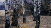 pic of birching  - Birch forest in autumn - JPG